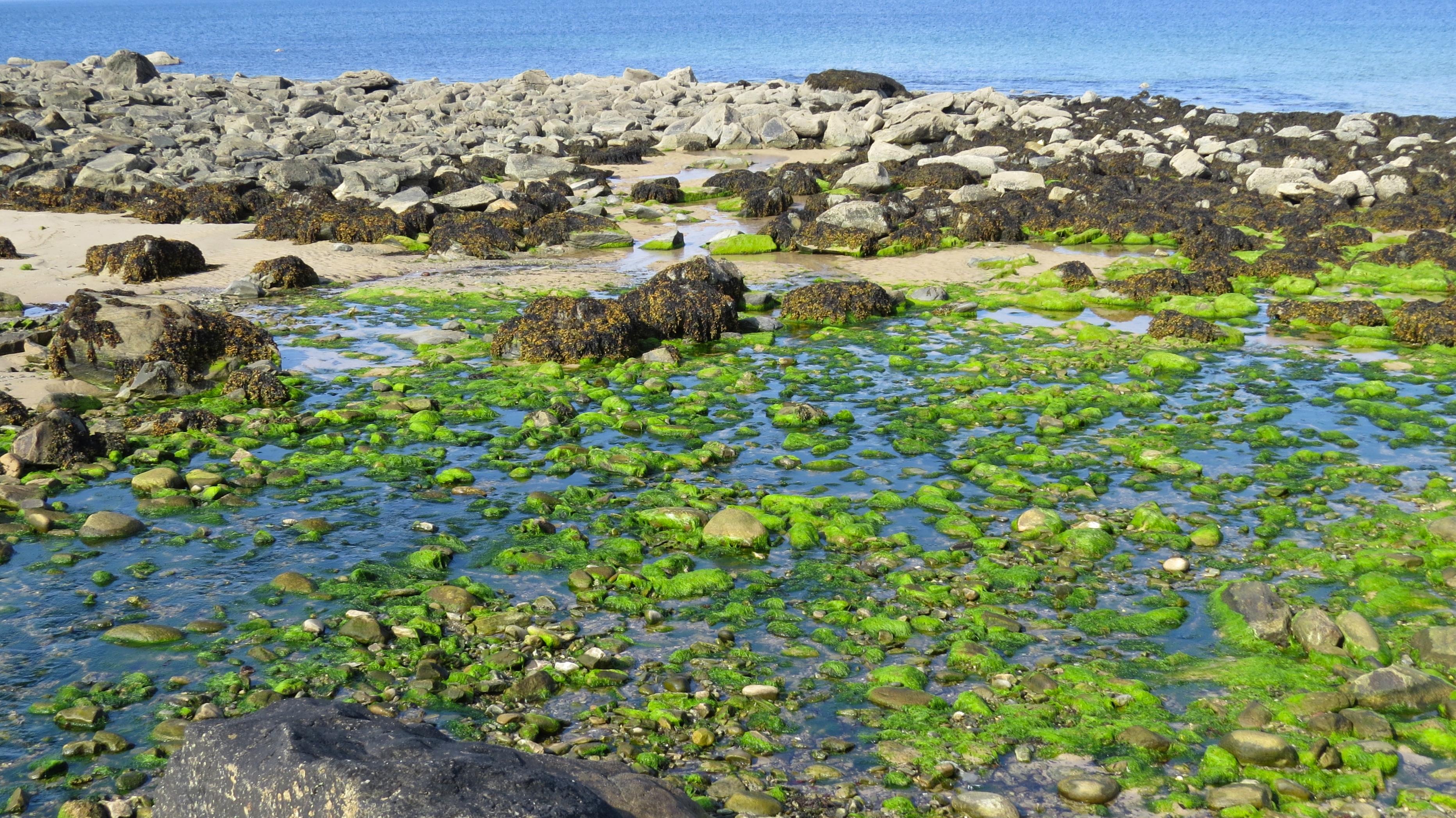 gs algae